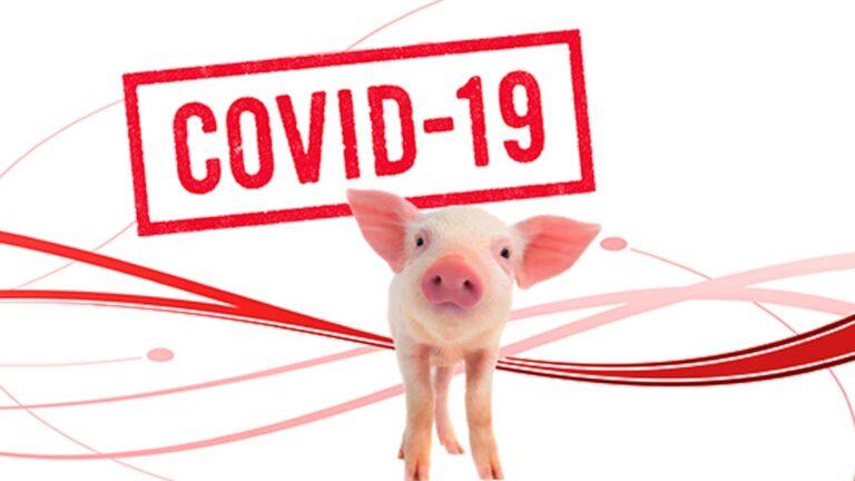 Sector Porcino y coronavirus