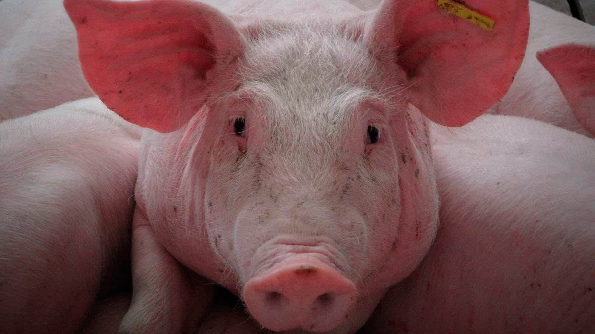 El sector porcino fortalece sus medidas de seguridad